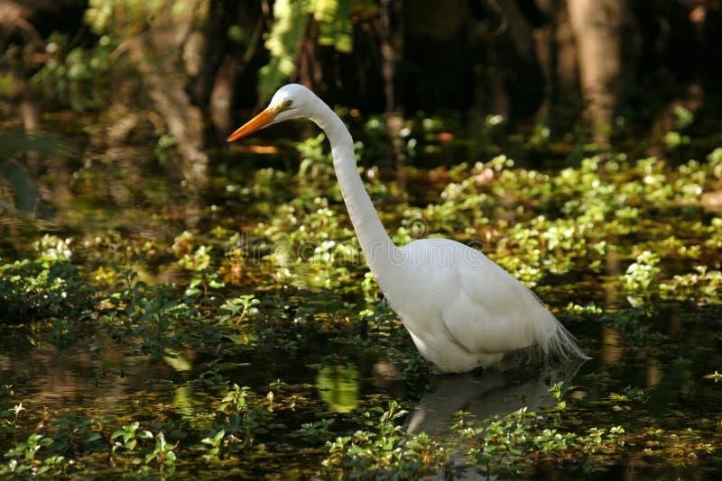 Schöner großer Reiher in Florida-Sumpfgebieten stockbilder