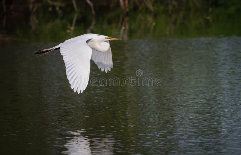 Schöner großer weißer Reiher trägt Nestmaterial zur Krähenkolonie stockfotos