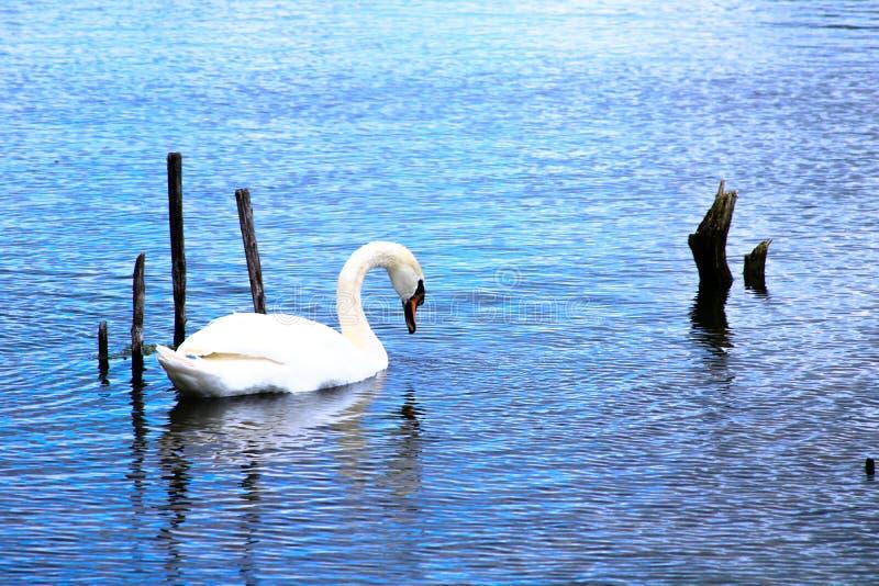 Schöner Höckerschwan auf einem blauen See mit hölzernen Pfosten lizenzfreie stockfotografie