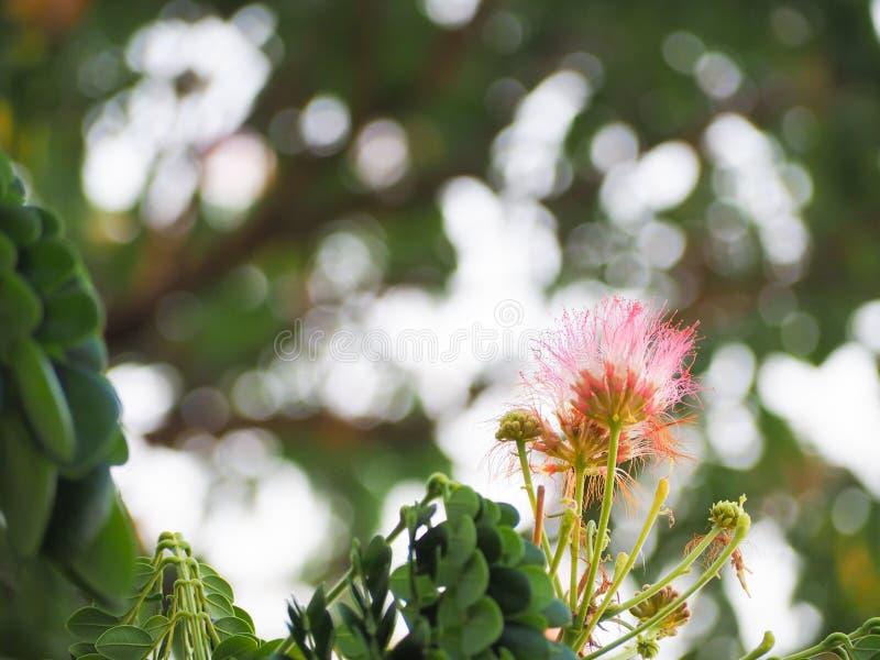 Schöner Hauch von rosa Mimosenblumen stockfotografie