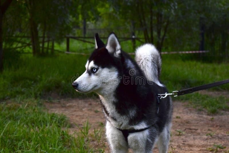 Schöner heiserer Hund lizenzfreie stockfotos