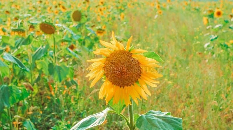 Schöner heller gelber Sonnenblumenabschluß oben auf dem Feld des Sonnenblumenhintergrundes stockfoto