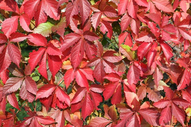 Schöner Herbst! Fallblätter in den wunderbaren roten Farben stockbild