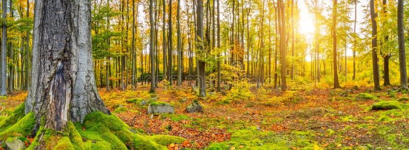 Schöner Herbst farbige Buchenbaumlandschaft lizenzfreie stockfotografie