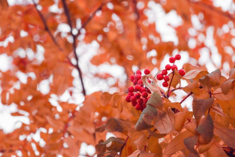 Schöner Herbsthintergrund mit Niederlassungen von wildem ashberry Inspirationsnatur Getrennt auf Wei? stockbild