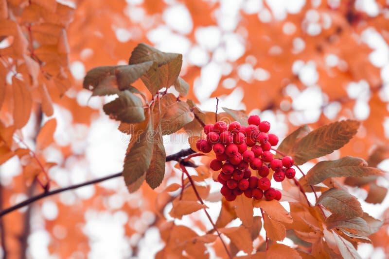 Schöner Herbsthintergrund mit Niederlassungen von wildem ashberry Inspirationsnatur Getrennt auf Wei? lizenzfreies stockbild