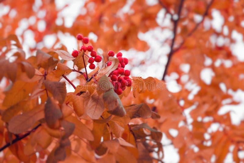 Schöner Herbsthintergrund mit Niederlassungen von wildem ashberry Inspirationsnatur Getrennt auf Wei? stockfotos