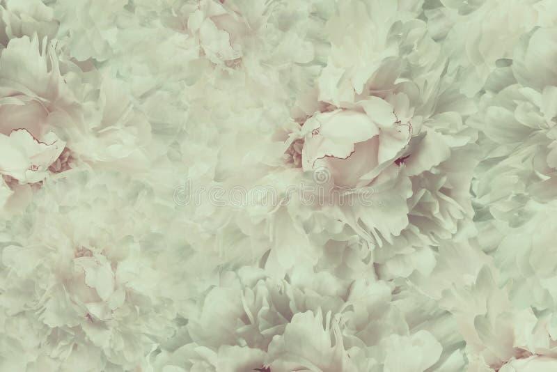 Schöner Hintergrund der Blumenweinlese Tapeten des leicht- Rosas der Blumen - weiße Pfingstrose Tulpen und Winde auf einem weißen stockfoto