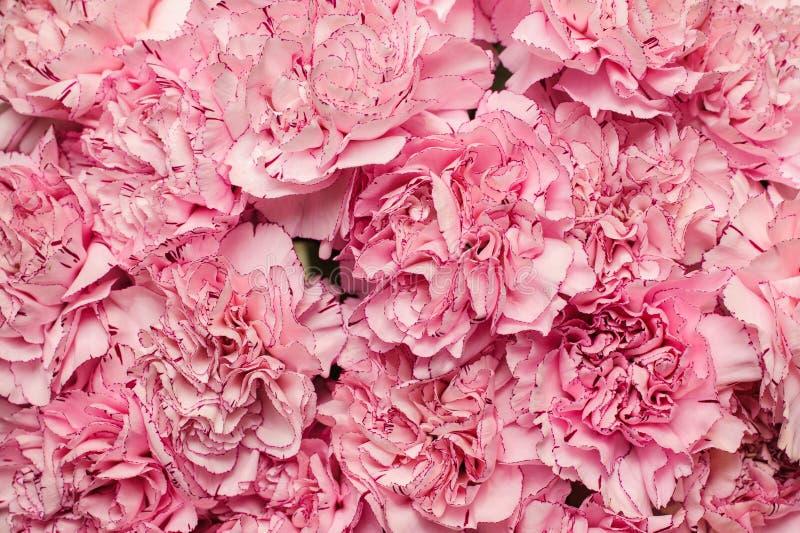 Schöner Hintergrund der rosa Gartennelke stockbild