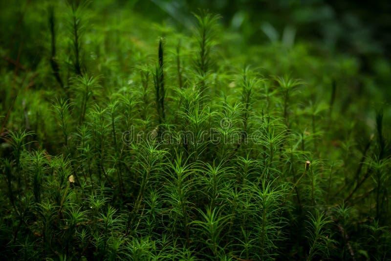 Schöner Hintergrund des Mooses im Karpatenwald stockbilder