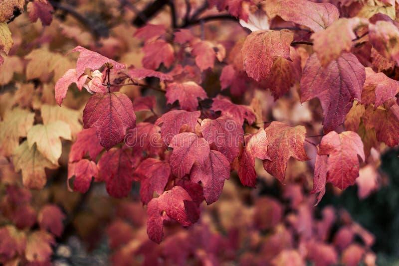 Schöner Hintergrund Herbstlaub von Büschen Bewölkte helle Rotblätter auf einer Niederlassung Hintergrundnatur im Park vorbei lizenzfreies stockbild