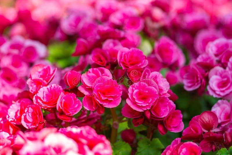 Schöner Hintergrund von großen Begonien der Blumen lizenzfreie stockfotos