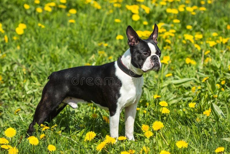 Schöner Hund Bostons Terrier auf einem Hintergrund des grünen Grases lizenzfreies stockfoto