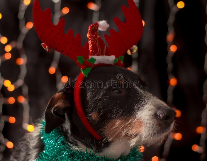 Schöner Hund, der für das Weihnachten mit dem Hut und dem Farblicht aufwirft stockbilder