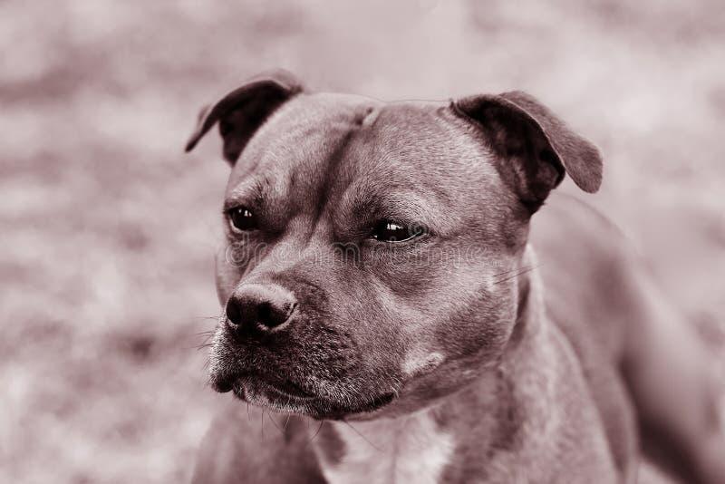 Schöner Hund von Staffordshire-Bullterrierzucht, schließen herauf Porträt im einfarbigen getonten, klugen Blick stockfotos