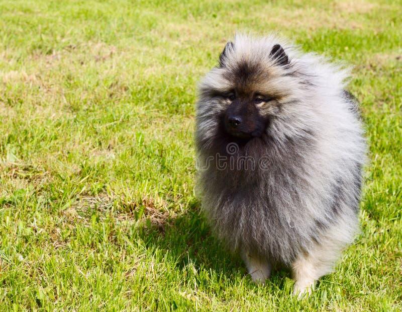Schöner HundeKeeshond stockbild