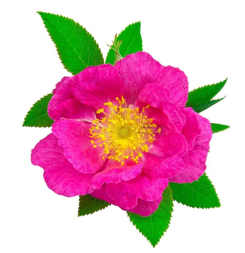 Schöner Hunderosafarbene Blume lizenzfreies stockbild