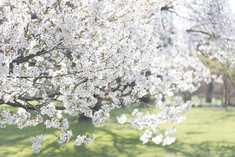 Schöner japanischer Kirschbaum blüht an einem sonnigen Tag lizenzfreies stockfoto