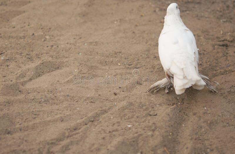 Schöner junger Haustaubevogel auf Grasland stockbild