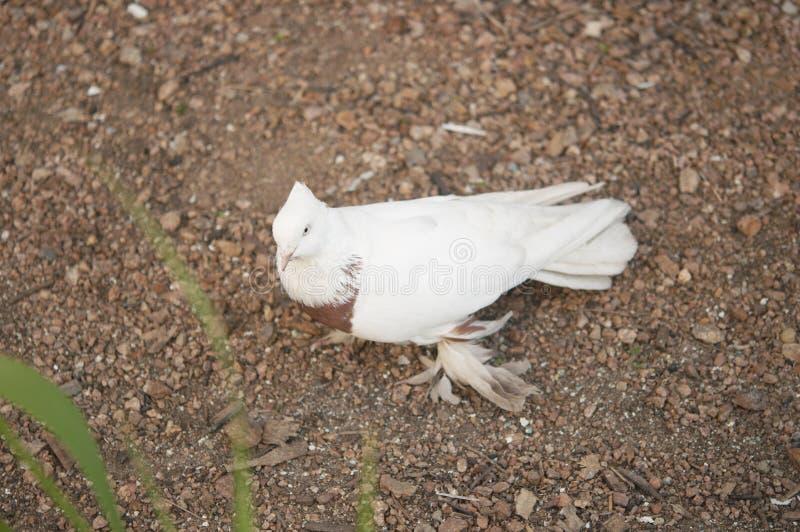 Schöner junger Haustaubevogel auf Grasland stockbilder