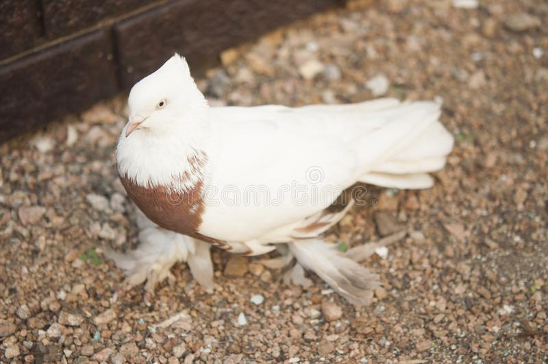 Schöner junger Haustaubevogel auf Grasland lizenzfreie stockbilder