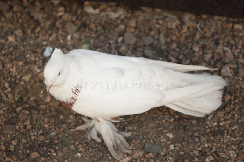 Schöner junger Haustaubevogel auf Grasland stockfotografie