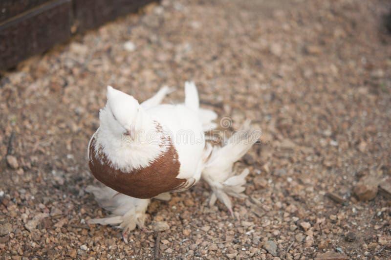 Schöner junger Haustaubevogel auf Grasland stockfotos