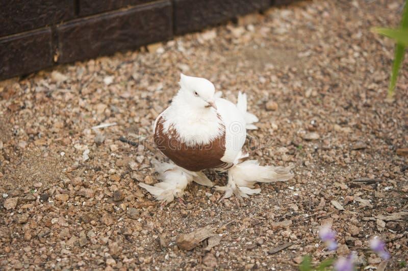 Schöner junger Haustaubevogel auf Grasland lizenzfreie stockfotografie