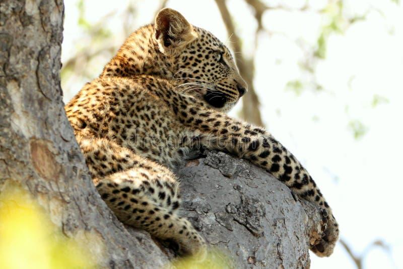 Schöner junger Leopard im Baum in Südafrika stockbild