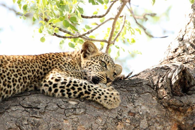 Schöner junger Leopard im Baum in Südafrika stockfotografie