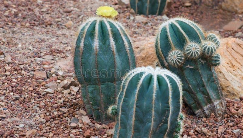 Schöner Kaktus auf Kiesel und Sand lizenzfreies stockbild