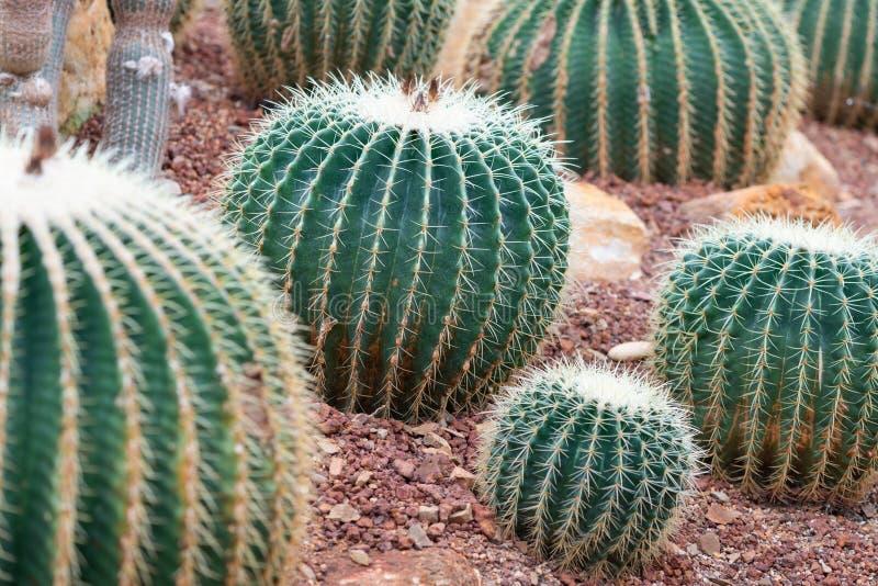Schöner Kaktus auf Kiesel und Sand stockfotos