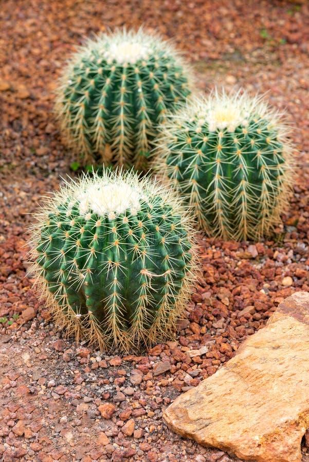 Schöner Kaktus auf Kiesel und Sand lizenzfreie stockfotos