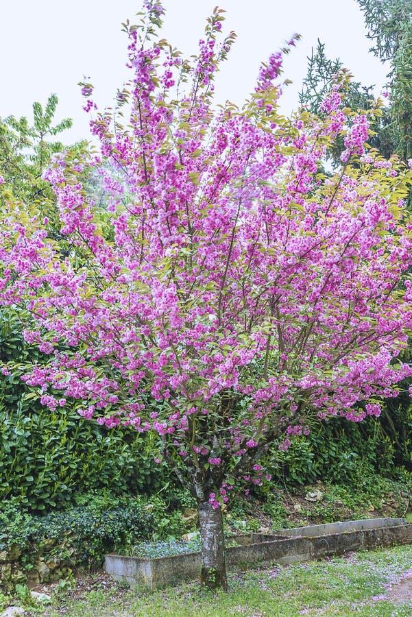 Schöner Kirschblüte-Baum in der Blüte lizenzfreie stockfotografie