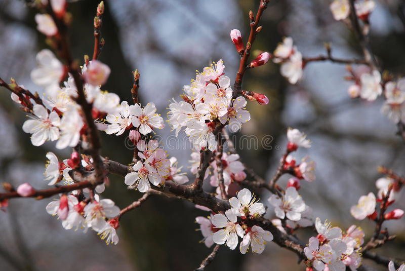 Schöner Kirschblütenbaum stockbilder