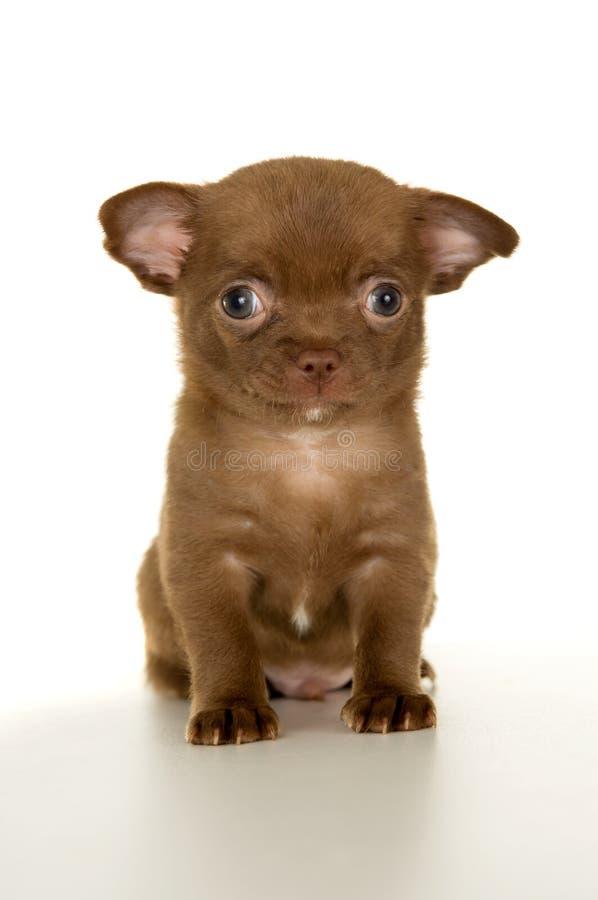 Schöner kleiner brauner Chihuahuawelpe stockfotos