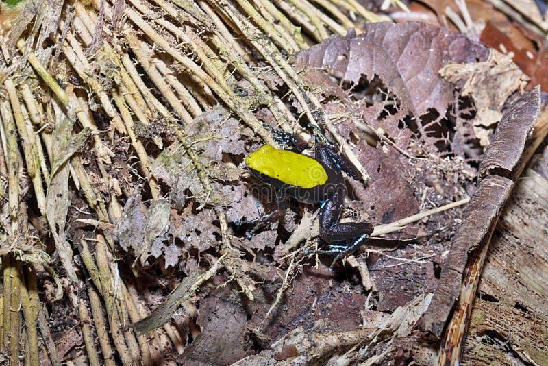 Schöner kleiner Frosch, der Mantella, Mantella-laevigata, neugieriges Mangabe, Madagaskar klettert lizenzfreie stockbilder