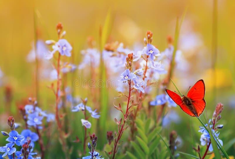 Schöner kleiner orange Schmetterling sitzt auf einer Sommerwiese mit üppigem grünem Gras und hellen blauen Blumen an einem sonnig stockfotos