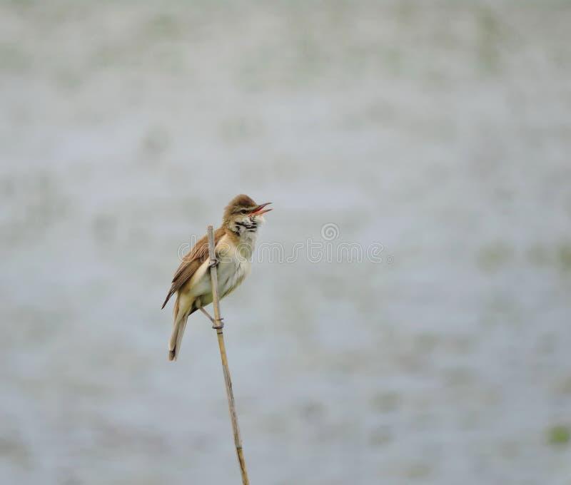 Schöner kleiner Vogel auf Reedanlage, Litauen stockbild