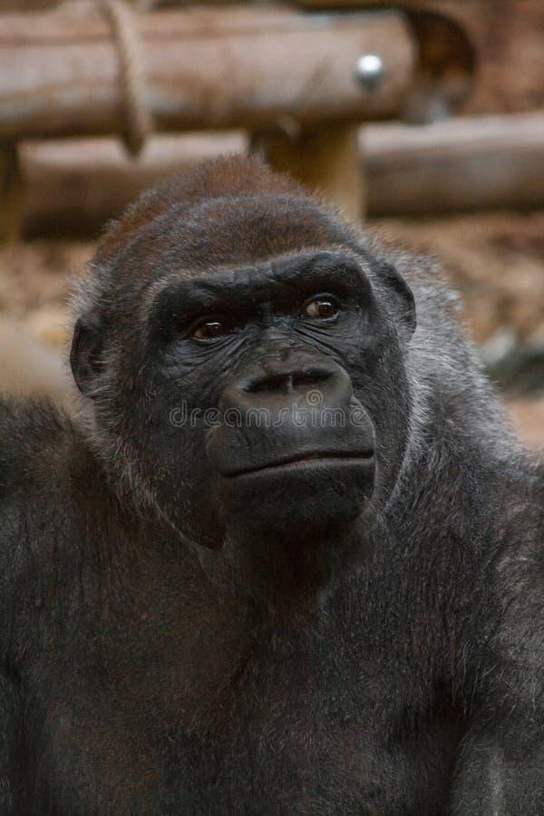 Schöner Kurzschuss eines Gorilla Höhlenbewohner-Gorillas, der Unendlichkeit betrachtet stockbild