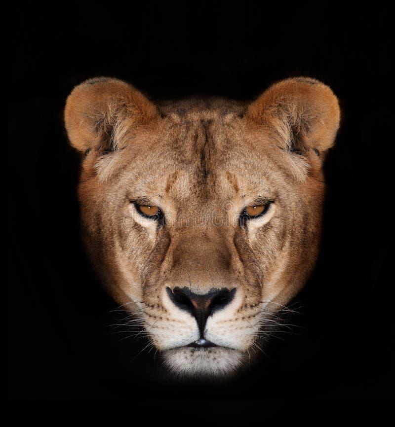Schöner Löwe lizenzfreies stockbild