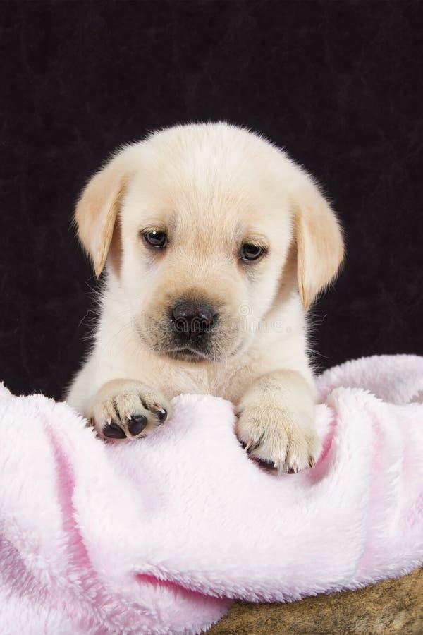 Schöner Labrador-Welpe, der im Kasten mit rosa towe liegt lizenzfreies stockbild