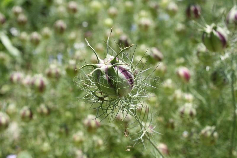 Schöner Liebe-in-einnebel im Garten stockbilder