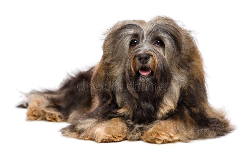 Schöner liegender langhaariger Hund Bichon Havanese stockfotografie