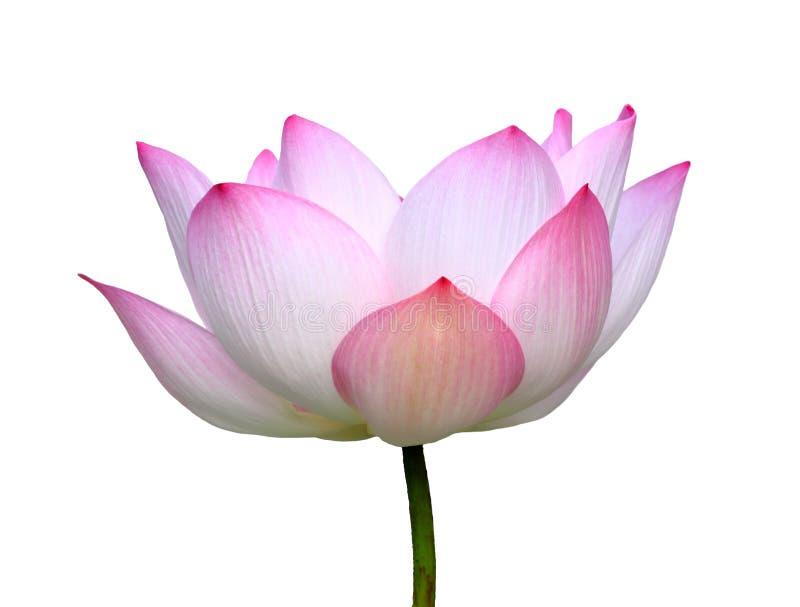 Schöner Lotos (einzelne Lotosblume lokalisiert auf weißem Hintergrund lizenzfreies stockbild