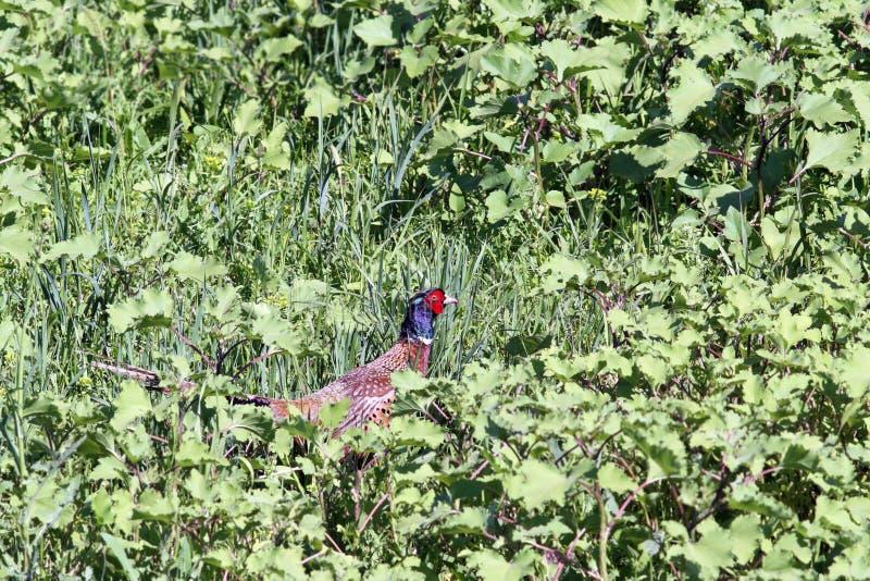 Schöner männlicher Fasan, der im Gras sich versteckt stockfoto