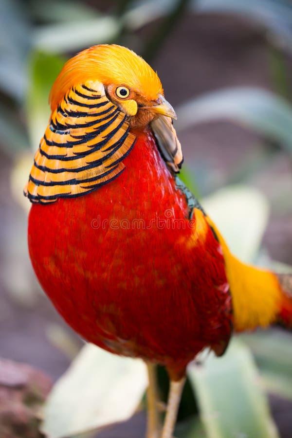 Schöner männlicher Goldfasan-Vogel lizenzfreie stockfotografie