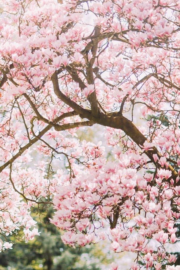 Schöner Magnolienbaum in der Blüte mit zarten rosa Blumen stockfotos