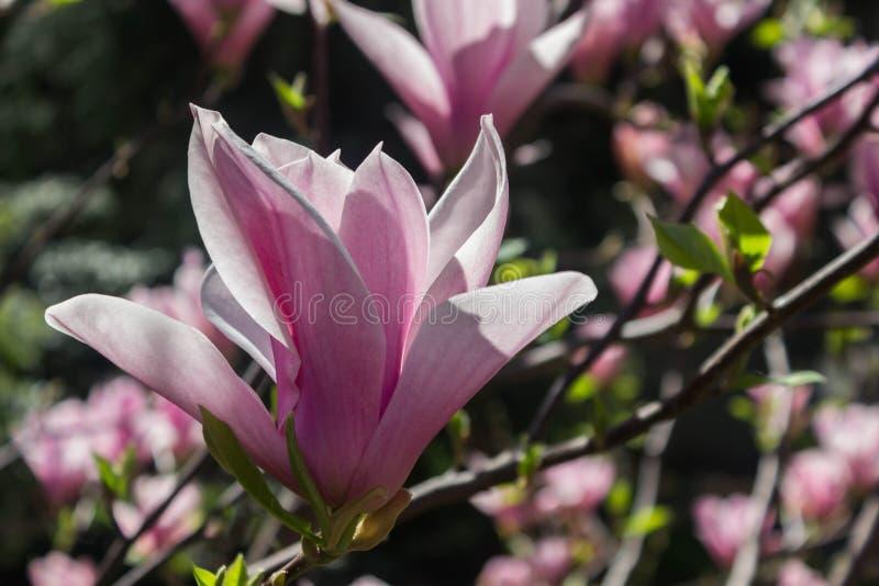 Schöner Magnolienblumenhintergrund Paare der Piepmätze auf dem bloosom fantastischen Baum Magnolienbaum in der Blüte an einem war stockfoto