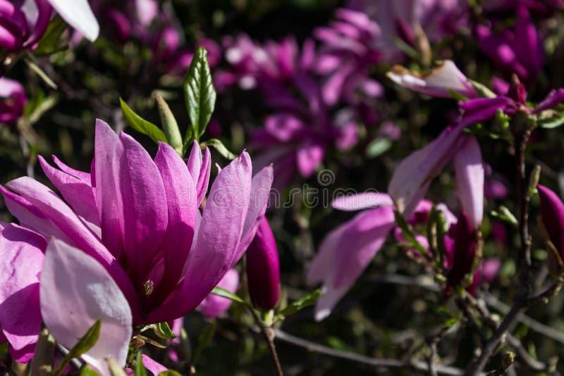 Schöner Magnolienblumenhintergrund Paare der Piepmätze auf dem bloosom fantastischen Baum Magnolienbaum in der Blüte an einem war stockfotografie